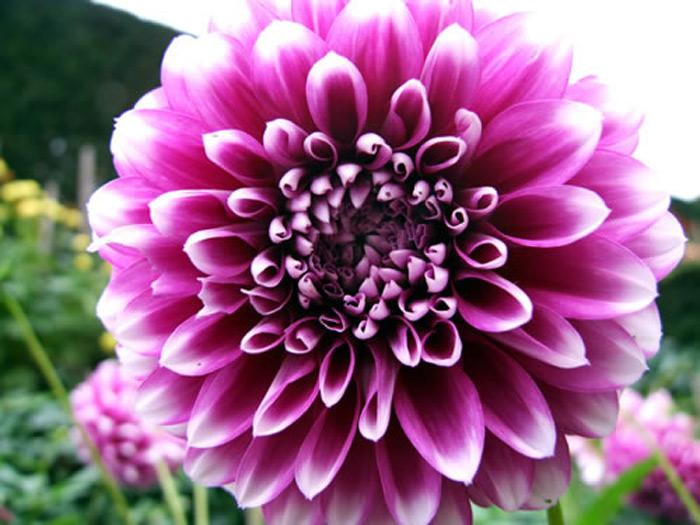 Purple Dahlia Purplefallflowers